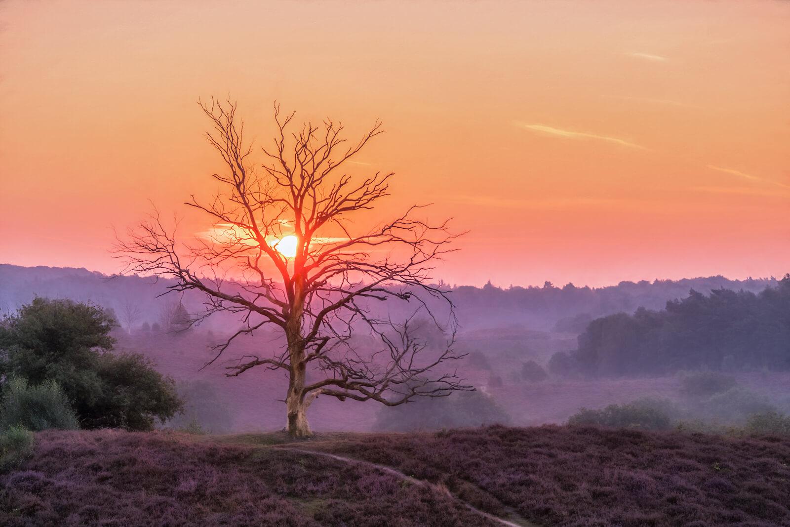The Majesty Oak (Copy)